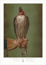 Portraits of famous falcons