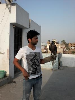 Indian Falconer RK 171356 with a Peregrine Falcon