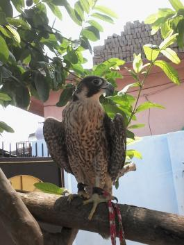 Indian Falconer RK 102917 - adult Peregrine Falcon female