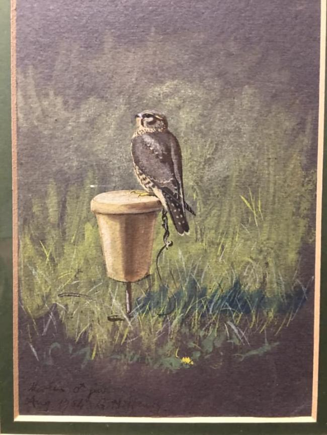 Little sketch of a merlin by G M Henry. Painted in Tilshead (presumably at Jack Mavrogordato's) in