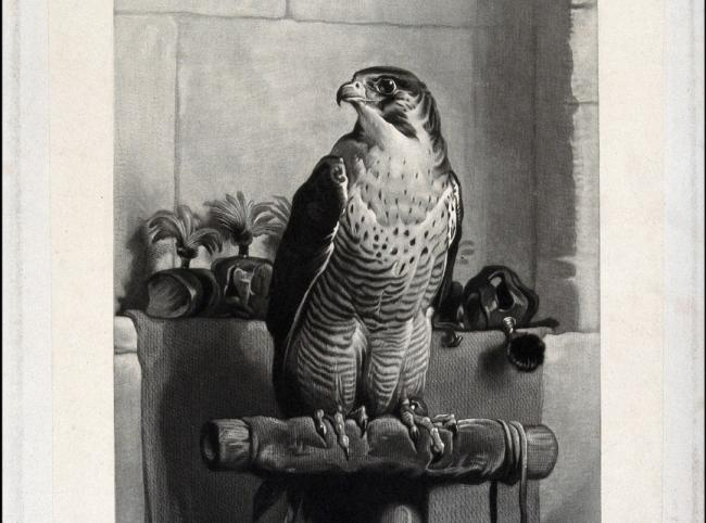 A peregrine falcon surrounded by harnesses used in falconry. Mezzotint, ca. 1882.