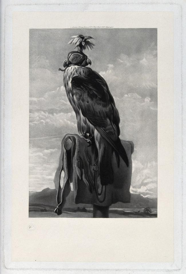 A bird of prey harnessed for falconry. Mezzotint, ca. 1882.